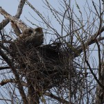 Great Horned Owl - VCDB Nests Update 7