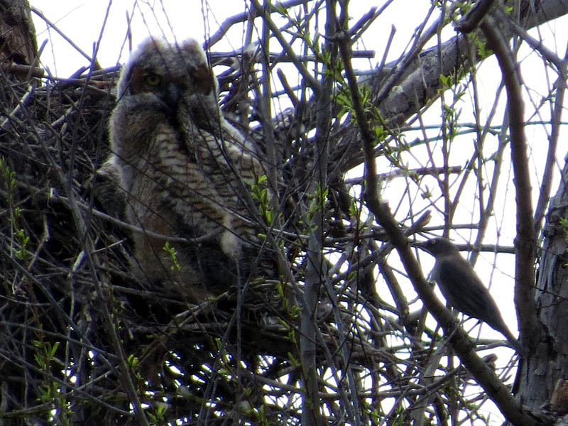 North Nest - The owlets are joined by what appears to be a female Great-tailed Grackle.