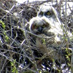 Great Horned Owl - VCDB Nests Update 8