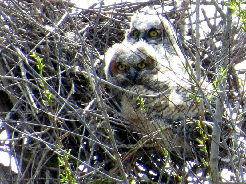 North Nest - The Great Horned Owl siblings.
