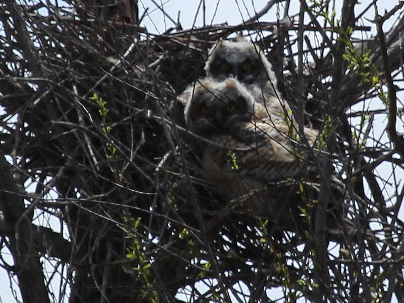 North Nest - Yellow eyes!