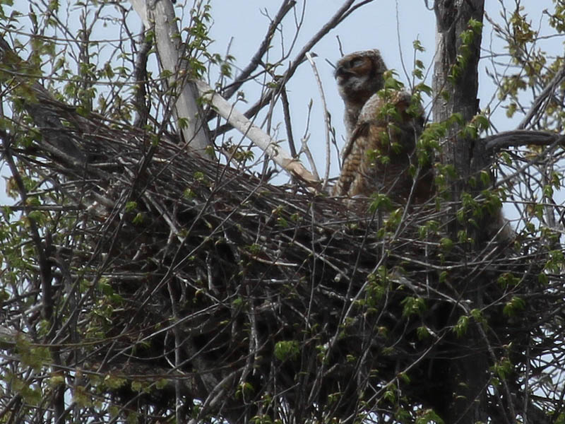 South Nest - at the south nest, one of the juveniles answers his mother's call.