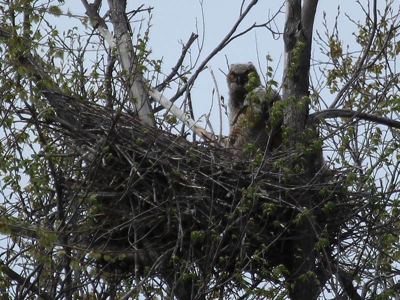 South Nest - The Great Horned Owlets are growing rapidly.