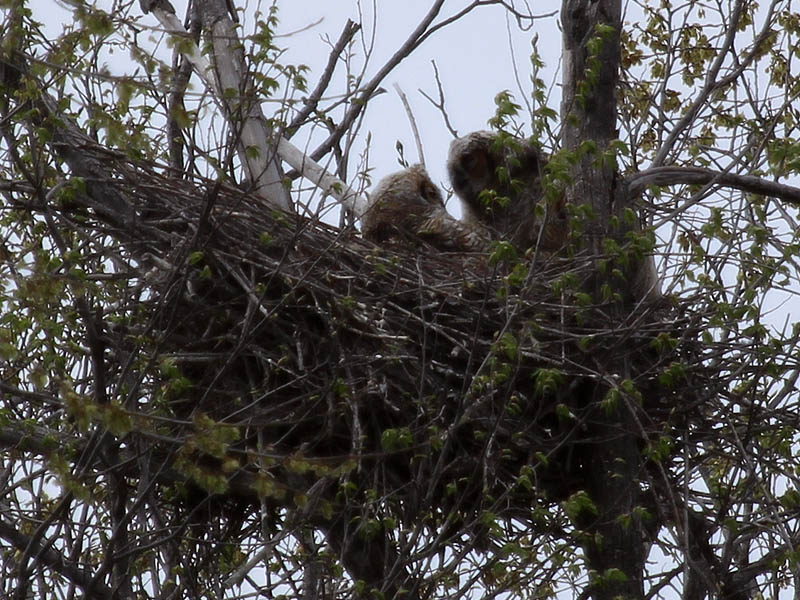 South Nest - The Great Horned Owlets face to face..