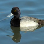 Lesser Scaup - Males and Females