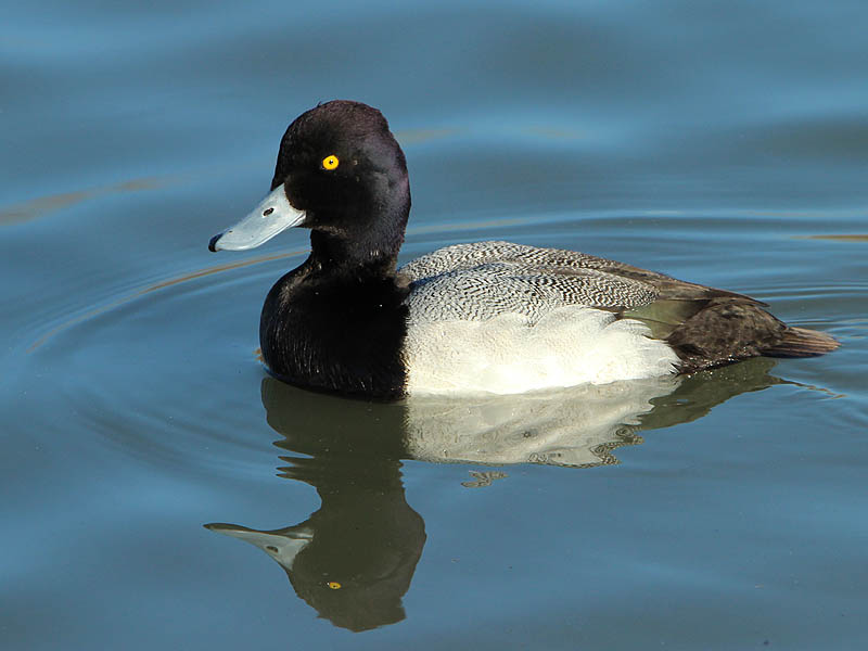 A male Lesser Scaup.