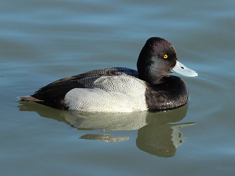 Note the odd expression on this scaup's face.