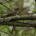 Northern Flicker - Bottomland Forest