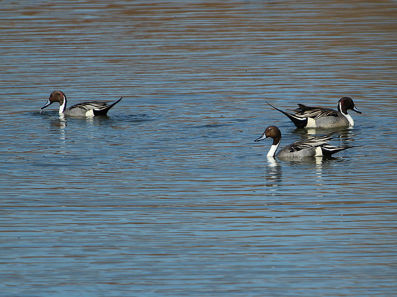 Northern Pintail - Dabbling Trio