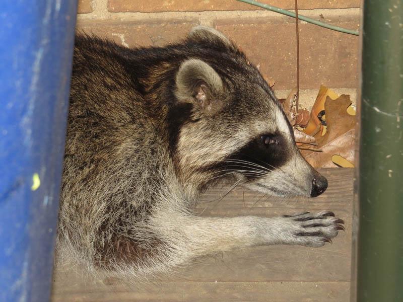 Raccoon - Outbreak