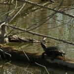 Red-eared Slider - McInnish Pond