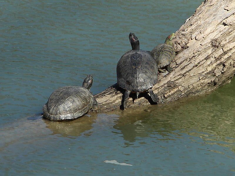 Red-eared Slider - Trinity River Legacy