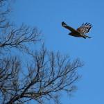 Red-shouldered Hawk - River Legacy