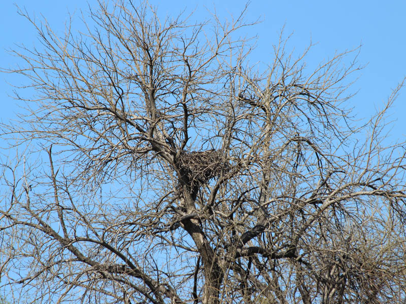 Red-tailed Hawk - Baylor Nest Update 6
