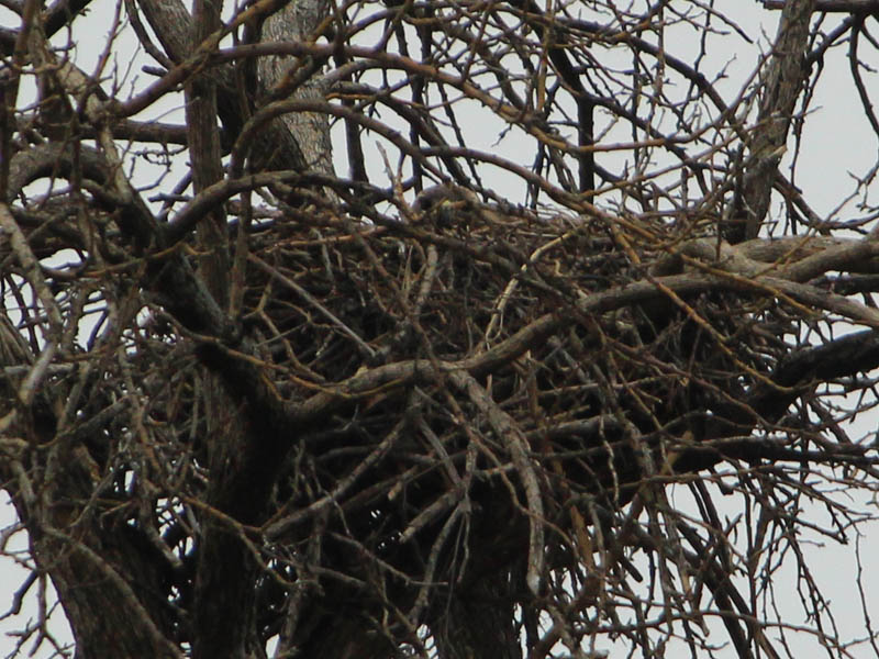 Red-tailed Hawk – Baylor Nest Update 4