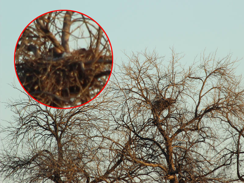 Red-tailed Hawk – Baylor Nest Update 5