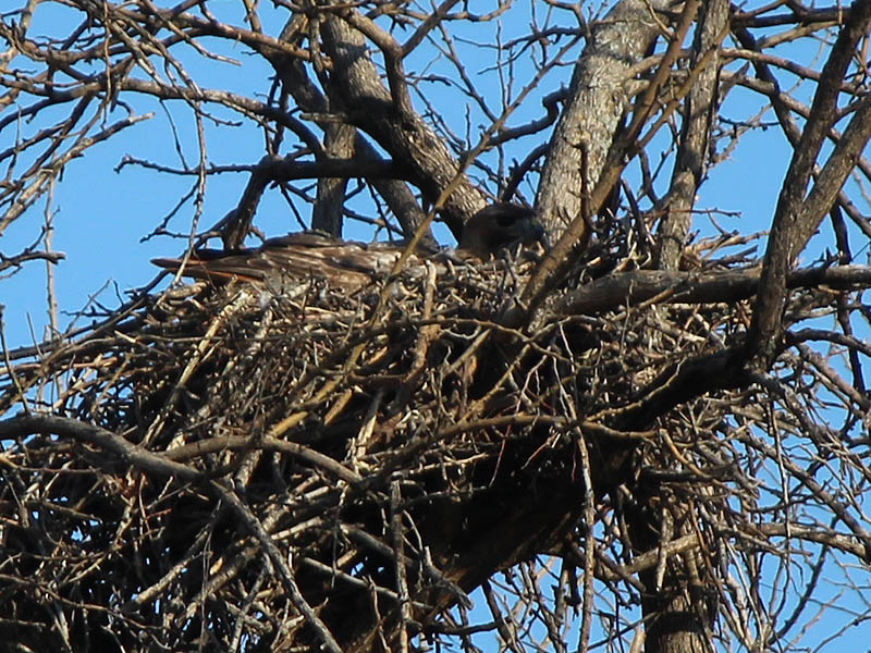 Red-tailed Hawk - Baylor Nest Update 3