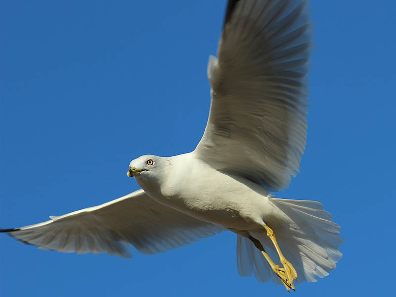 Ring-billed Gull - In the Air
