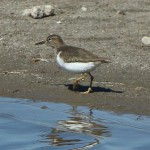 Spotted Sandpiper - On the Beach