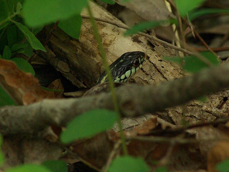Texas Garter Snake - Olive Shapiro Park