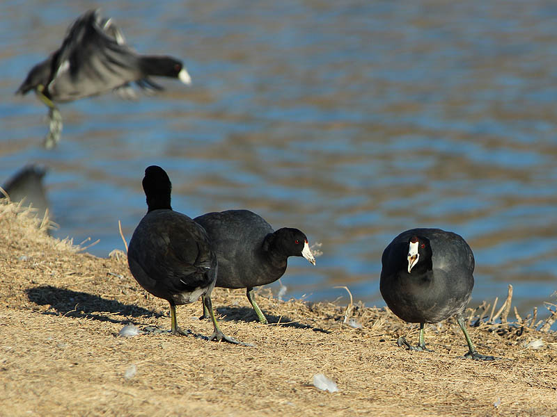 American Coot - Busy Weekend