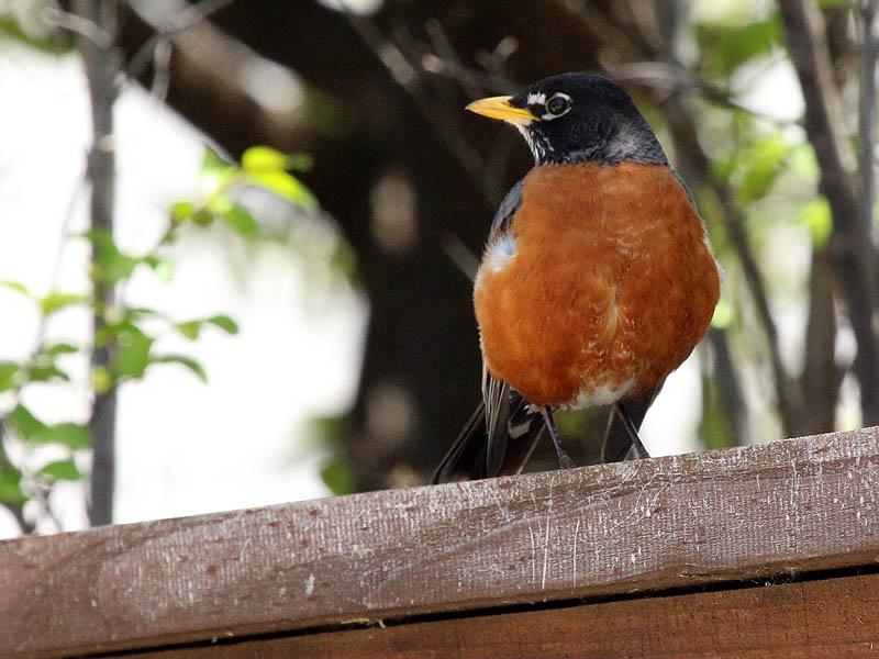 American Robin - Suburbia