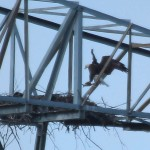 Bald Eagle – Tower Nest Update 11
