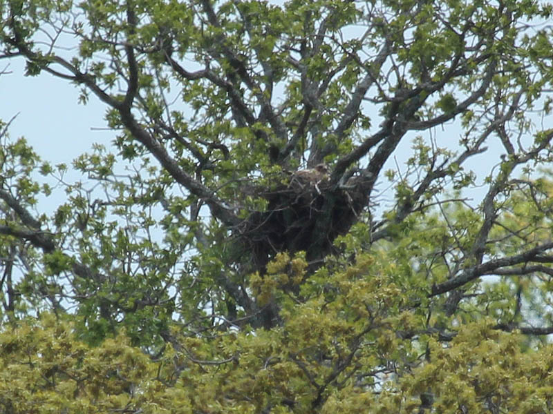 Hopefully her nest will not become obscured by leaves as the season progresses.