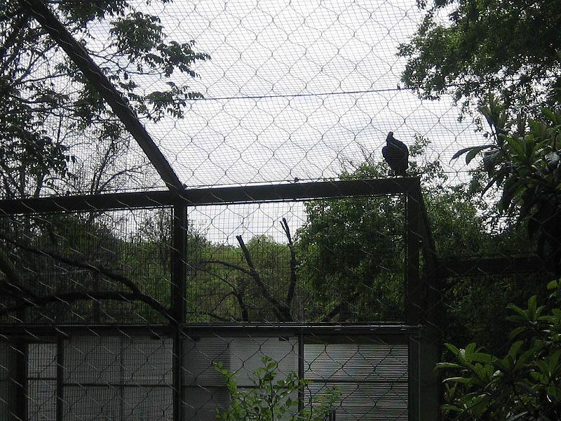 Black Vulture - Dallas Zoo