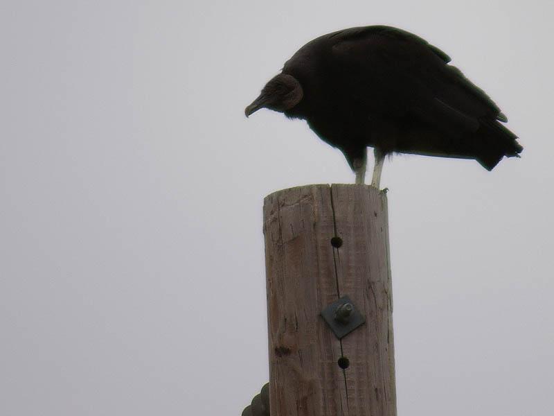 Black Vulture - Perched