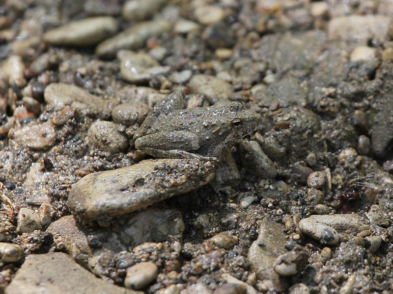 Blanchard's Cricket Frog - Hidden