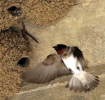 Cliff Swallow - Manmade Cliffs