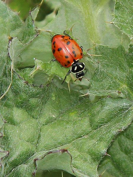 Convergent Lady Beetle - VCDB