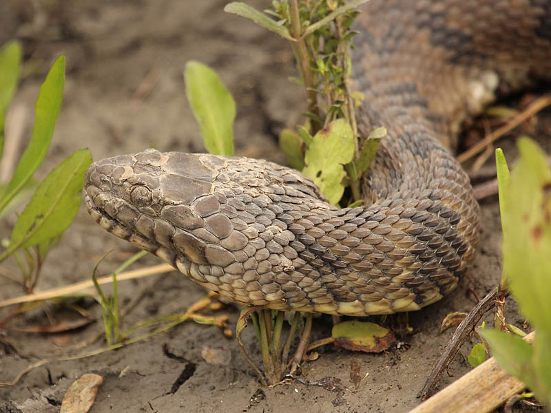 Diamond-backed Water Snake - Blank