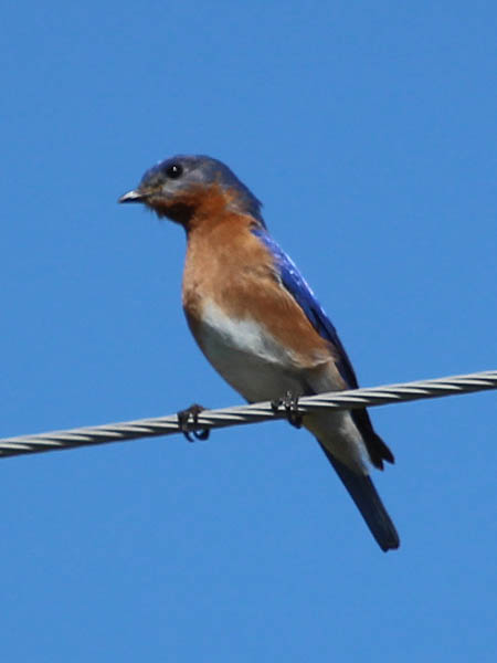 Eastern Bluebird - On a Wire