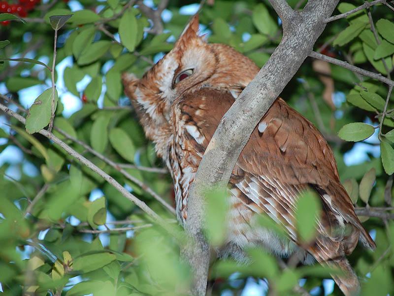 Eastern Screech Owl - A Last Look