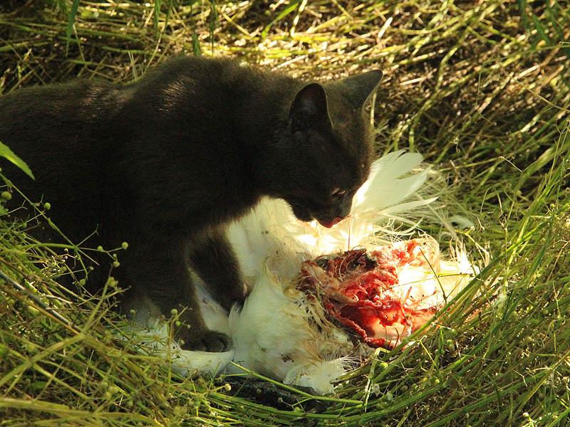 Feral Cat - Predator