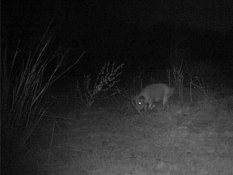 A lone Feral Hog photographed inside the boundaries of the VCDB.