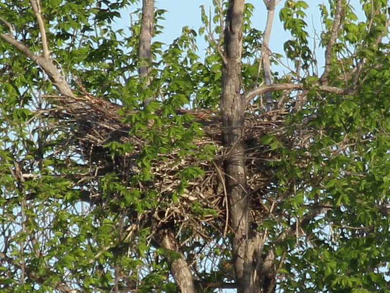 A closer look showed the nest to be empty.  The owlets had fledged.
