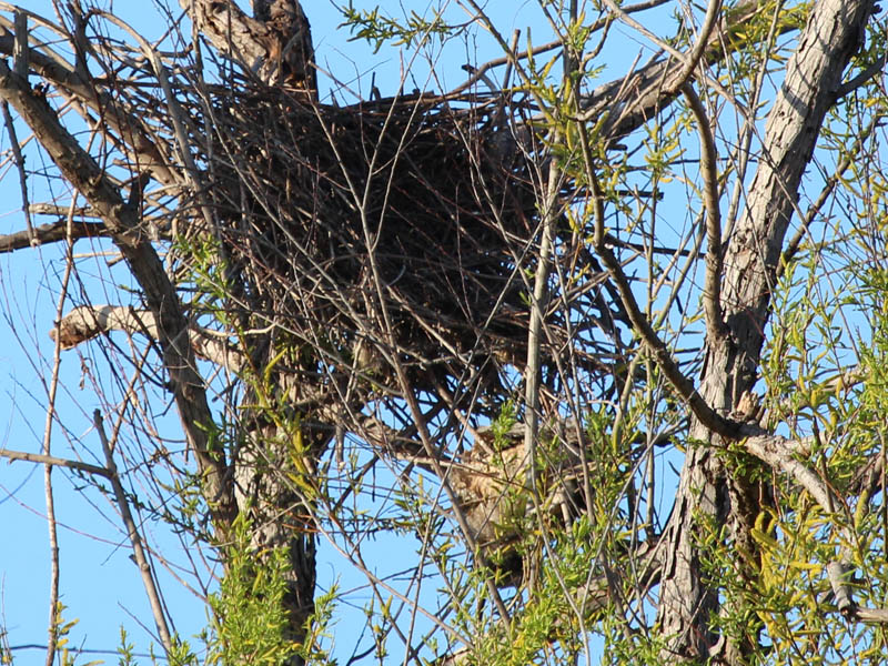 The north nest had obviously been disturbed.  The carcass of a large bird hung in the branches below the nest.