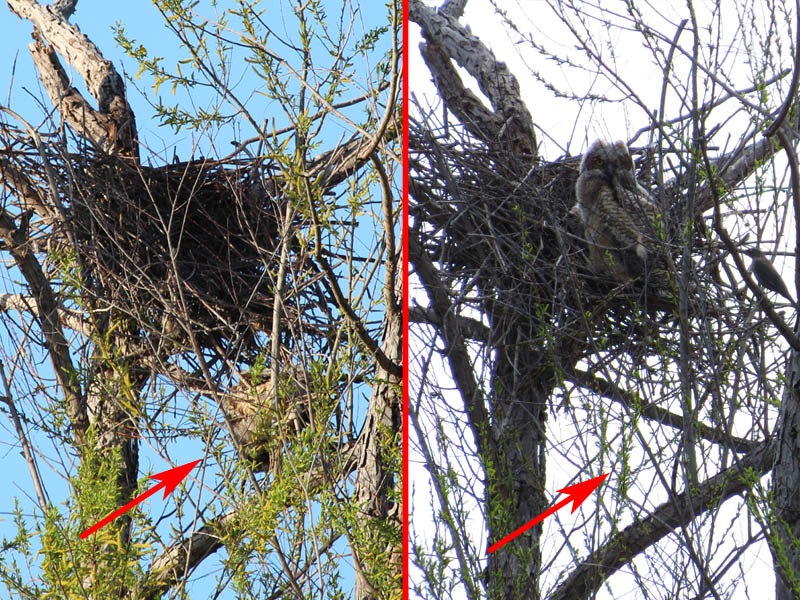 This picture compares the state of the nest as it is now (left) with how it was the previous weekend (right).  The red arrow indicates the location of the dead owlet.