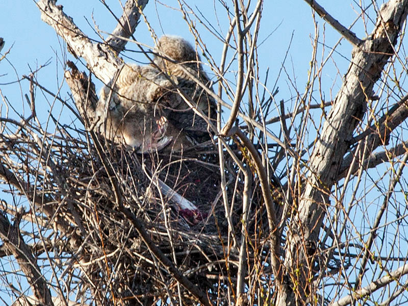 Great Horned Owlets feeding on on what may be a Great Blue Heron chick.