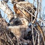 Great Horned Owl - VCDB Nests Update 9