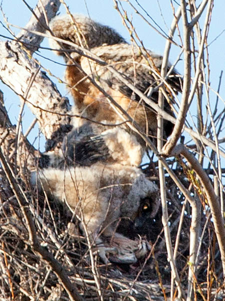 One of the owlets drops down into the nest to continue feeding.