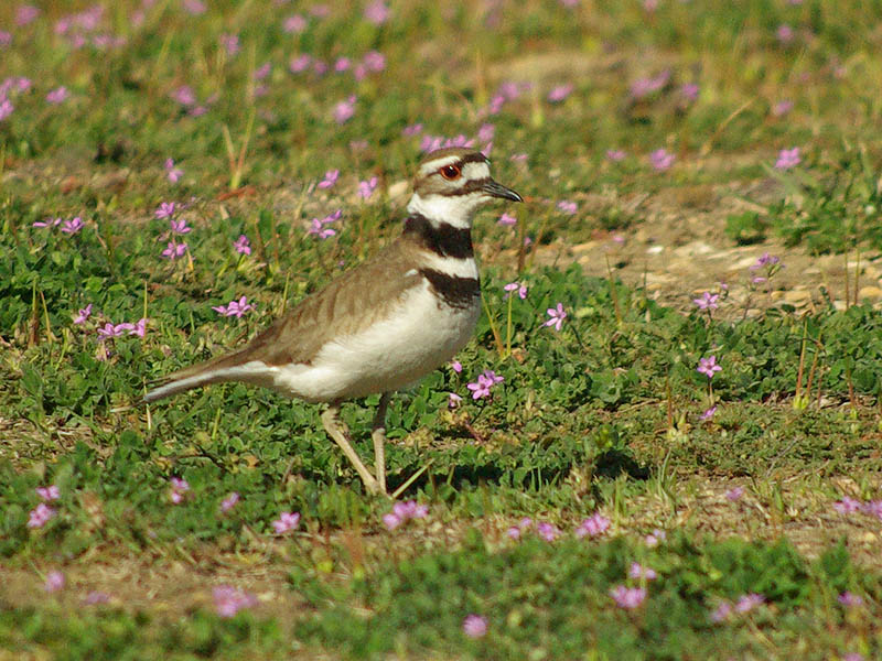 Killdeer - Purple Flowers