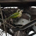 Monk Parakeet - In Irving