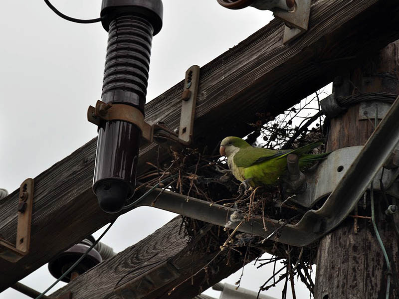 Monk Parakeet - In Irving