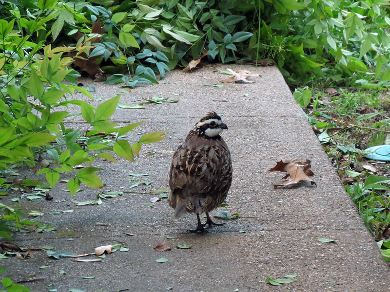 Northern Bobwhite - Back Home?
