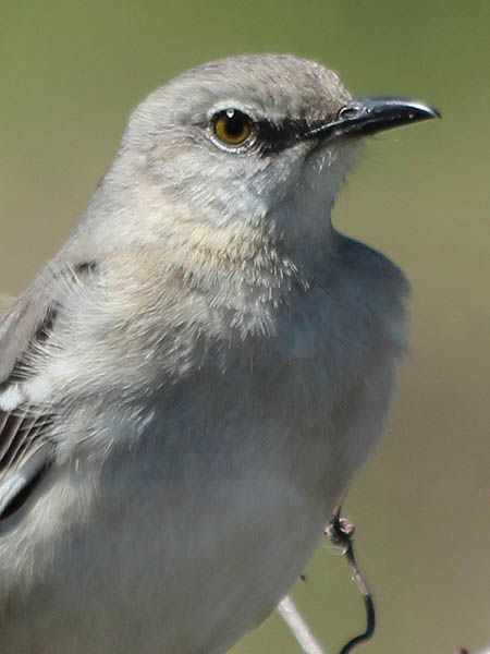 Northern Mockingbird - Overseeing