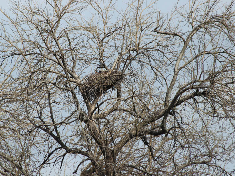 The female Red-tailed Hawk sitting on her nest.  She has been incubating these eggs for approximately 29 days.